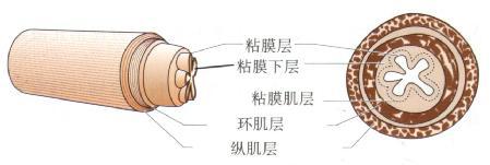 胃肠道管壁的基本结构