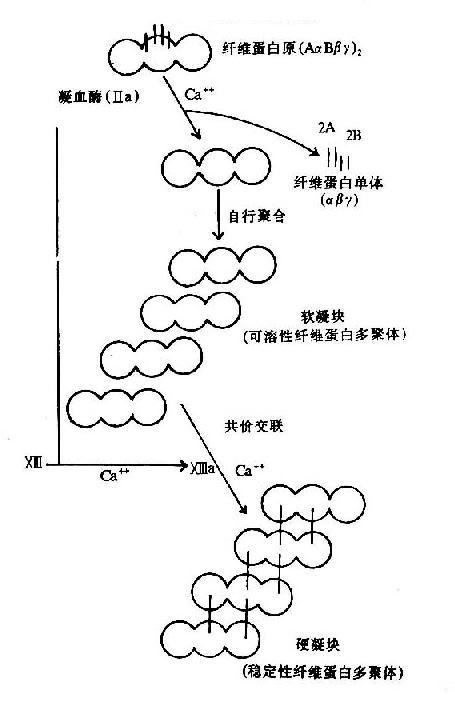 纤维素蛋白凝胶的生成