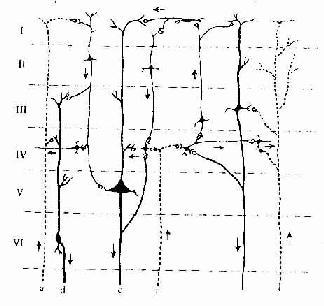 大脑皮质内微环路简图