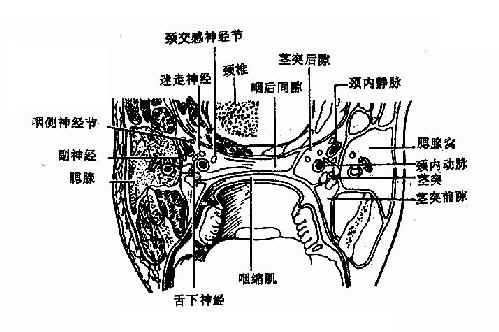 咽筋膜间隙(经扁桃体中横切面)