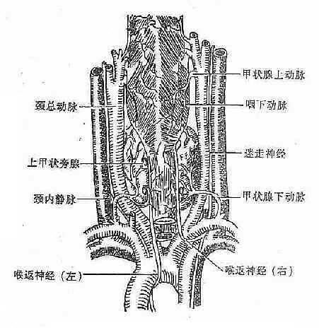 甲状腺和气管、食管、血管及神经的解剖关系(背面观)