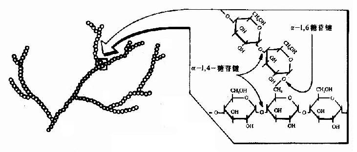 糖原的结构