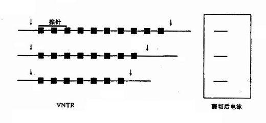 VNTR导致的RFLP重复次数的变异致酶切位点的移动和DNA片段长度的变异