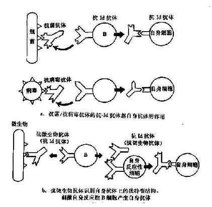 独特型相互作用形成自身免疫