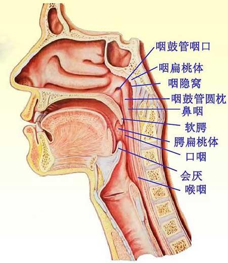 咽解剖結構圖