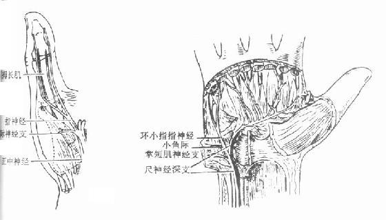 手部的运动神经分布