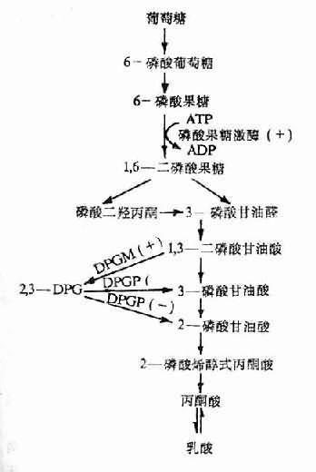 3-DPG的生成与分解