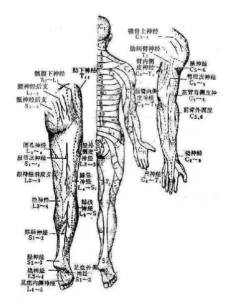 周围型(神经干型)及节段型感觉分布(背面)
