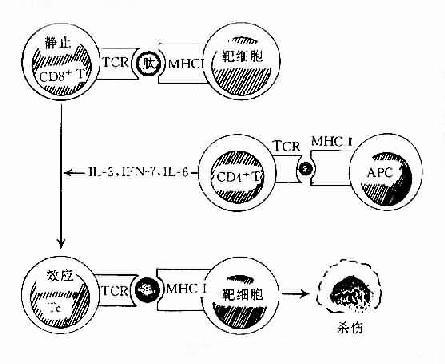 T细胞的发生