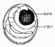 陷孢子虫卵巢