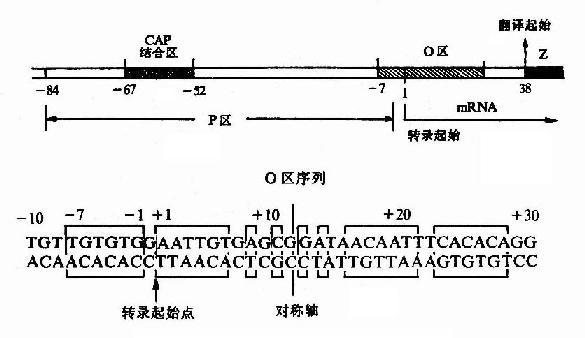 乳糖操纵元的P-O区及O区序列