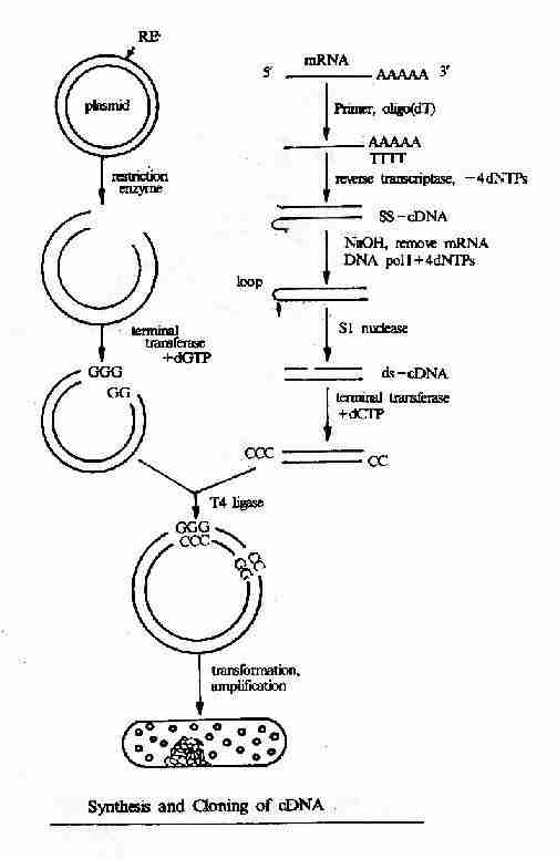 cDNA文库的构建