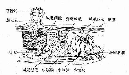 胎盘模式图