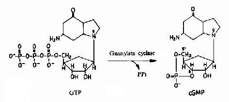 cGMP的生成