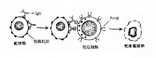 抗体依赖的细胞介导的细胞毒作用(ADCC)