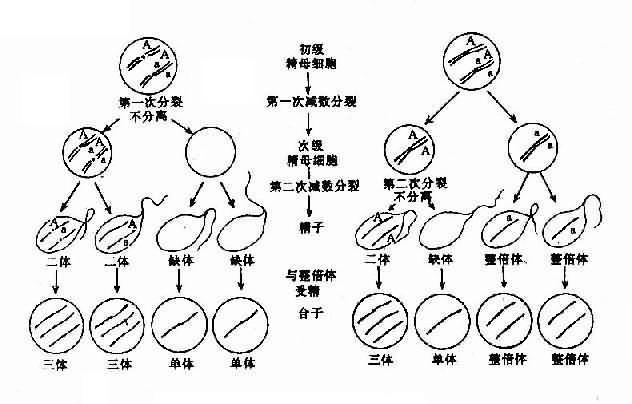 減數分裂時染色體不分離