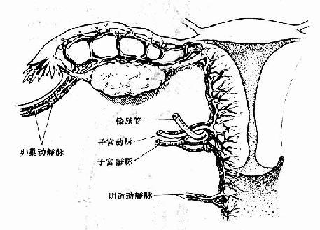女性生殖器宫主要血液供应
