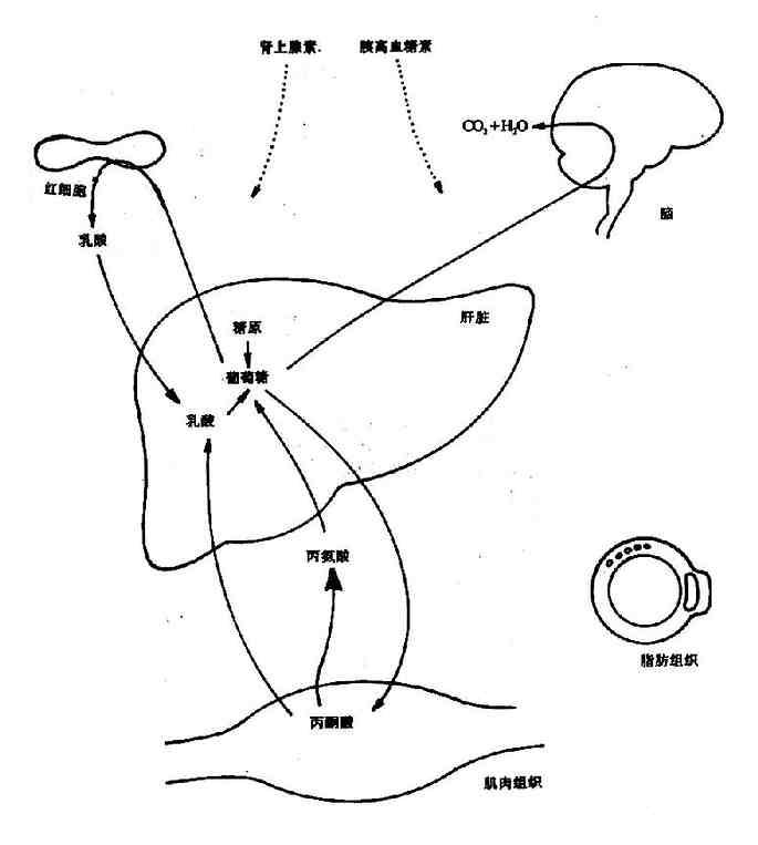 早期饥饿情况下机体主要组织间代谢联系