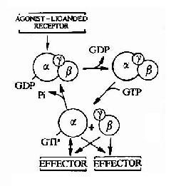 G蛋白循环示意图