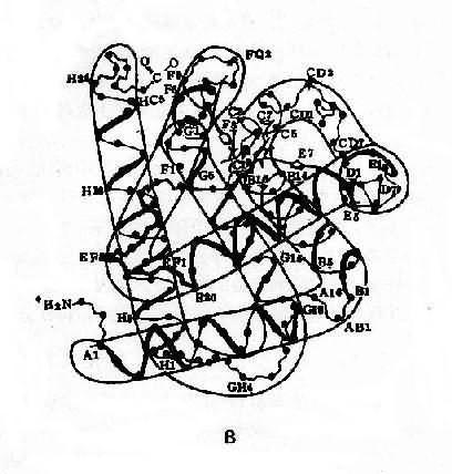 血红蛋白结构示意图 血红蛋白单体的三维空间结构