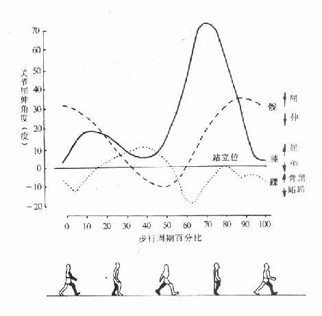 常速步行时髋、膝、踝各关节的屈伸活动