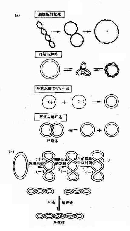 拓扑酶Ⅰ及Ⅱ的作用特点