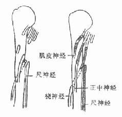 利用尺神经修复桡神经、正中神经和肌皮神经