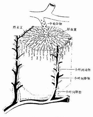 肝小叶模式图