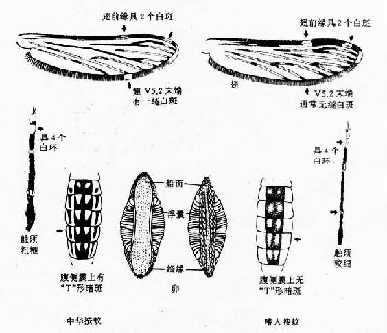 中华按蚊与嗜人按蚊形态鉴别