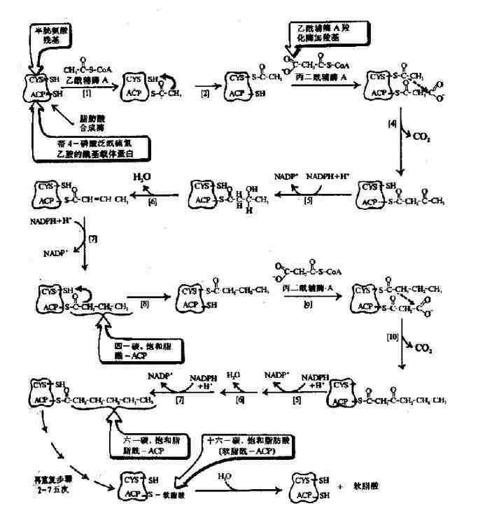 原核生物脂肪酸合成酶复合物生成软脂酸(16:0)