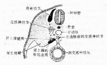 交感神经节及肾上腺髓质的发生
