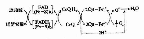 NADH氧化呼吸链