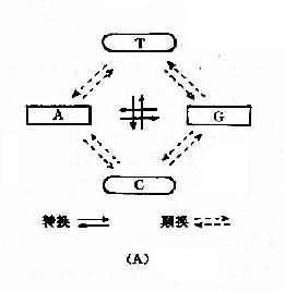 碱基置换类型