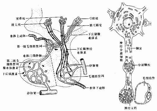 垂体的血管分布及其与下丘脑的关系