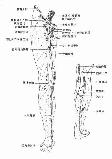 大、小靜脈和下肢淺淋巴的引流