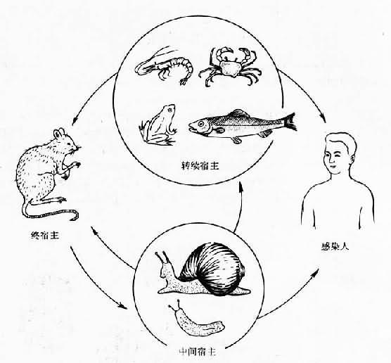 广州管圆线虫生活史
