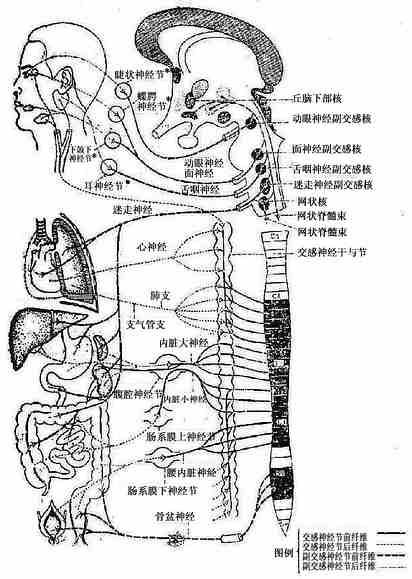 植物神经系统
