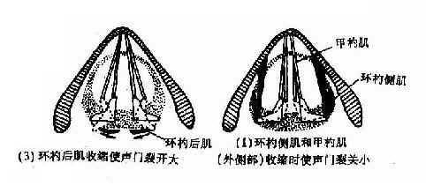 喉肌机能作用示意图