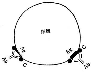 Ⅱ型变态反应示意图