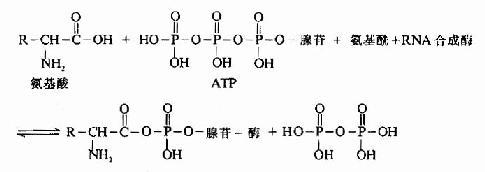 氨基酰-tRNA的生成