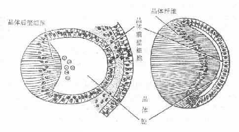 晶体纤维的发育