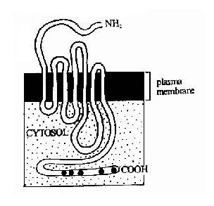 七次跨膜受体-G蛋白偶联型受体跨膜结构示意图