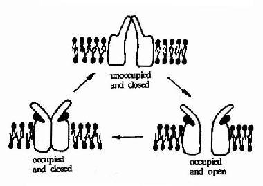 乙酰胆碱受体的三种构象示意图