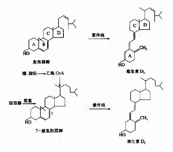维生素D2和D3的生成