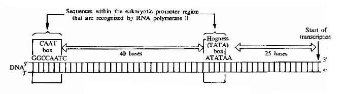 Eukaryotic gene promoter sequences