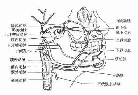 口腔颌面部动脉