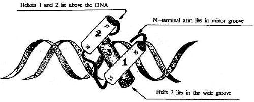 HTH结构及其与DNA的结合