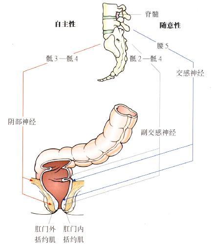 肛管直肠区域的神经支配