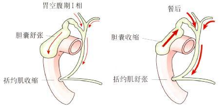 空腹期和餐后胆管内的胆汁流向。
