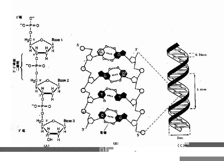 DNA雙螺旋結構及鹼基配對示意圖